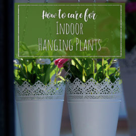 Caring for Indoor Hanging Plants