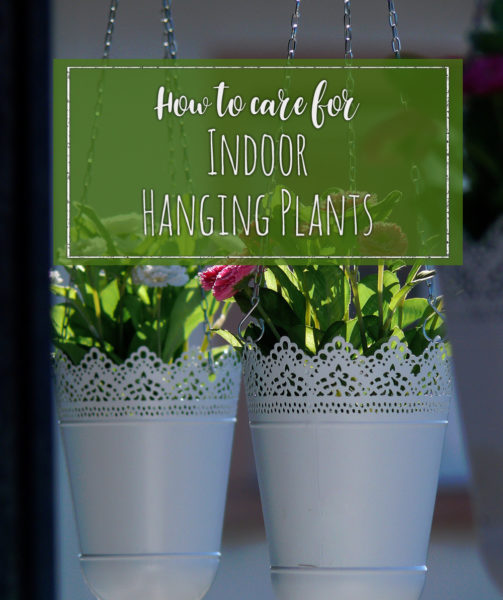 how to care for indoor hanging plants