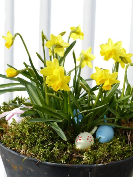 Easter Spring planter with daffodils