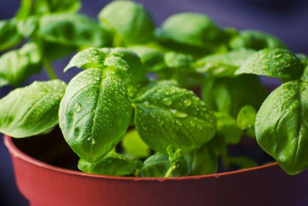 basil for container garden