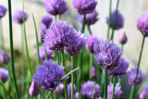 Chives for container garden