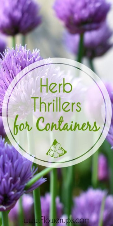 Herb Thrillers for Container Gardens