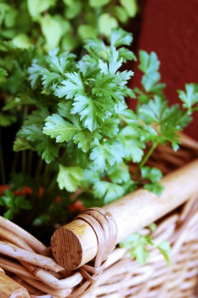 Parsley for container garden