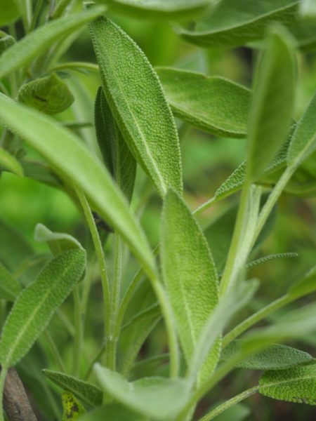 sage for container garden