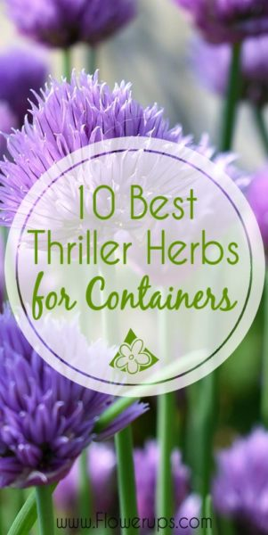 10 best thriller herbs for container gardens