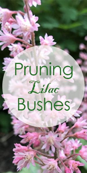 Lilac Tree Pruning Flowerups